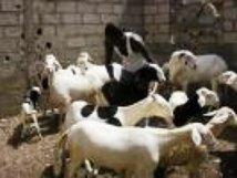 Le prix du mouton relativement cher à Nouakchott
